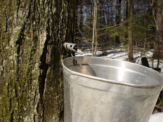Maple syrup fun