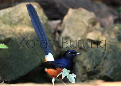 Murai kerikil merupakan salah satu burung yang  Tips Pemilihan Murai Batu Yang Bagus Menurut Kicau Mania Berpengalaman