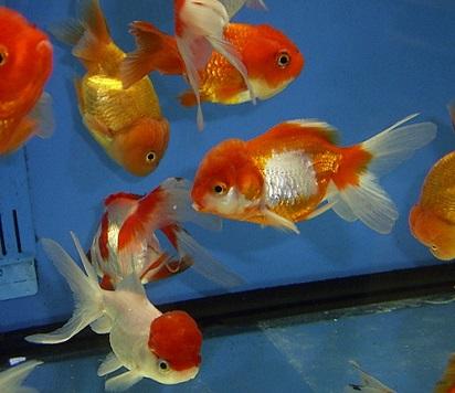 Cara Memberi Makanan Ikan Mas Koki Agar Cepat Besar Dan