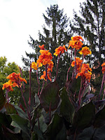 Orange cannas