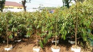 Pohon Durian Musang King Bibit Durian Trubus Distributor Hp Wa 0822 2022 8118 Jual Bibit Durian Montong Di Bandung Bibit Durian Kaki Tiga Di Bandung Barat