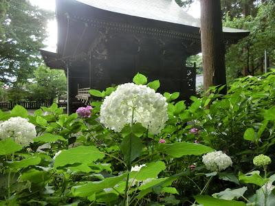 御霊神社のアナベル