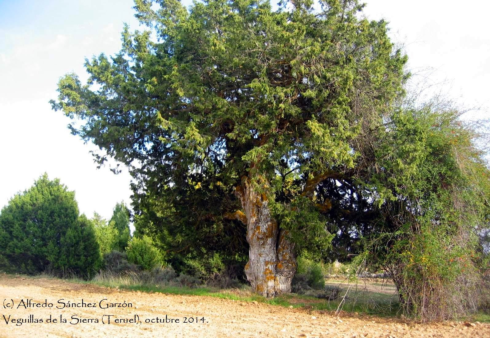 veguillas-sierra-sabina-juniperus-thurifera