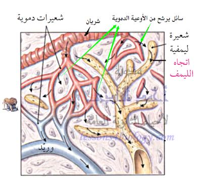 الجهاز المناعى - تركيب - الأوعية الليمفاوية