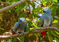 birding safaris in kibale national park, uganda birding