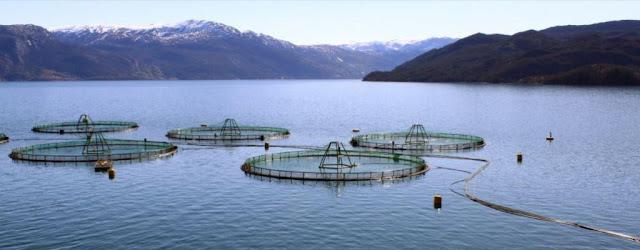 Peternakan salmon