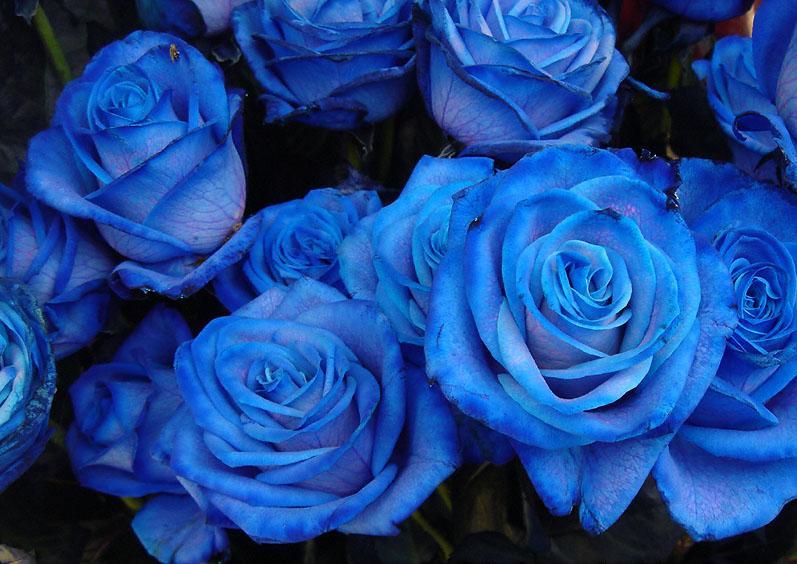 Blue roses wallpaper rose wallpapers - Blue rose hd wallpaper download ...