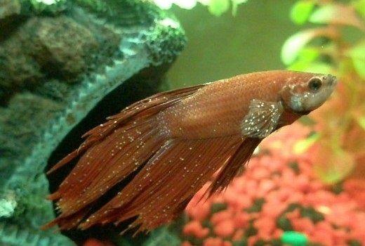 Penyakit Ikan Cupang Bintik Putih (White Spot)