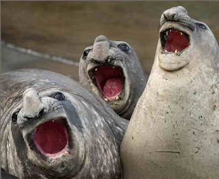 Laughing seals