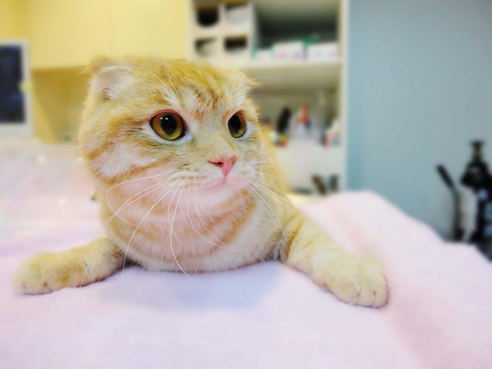 維康動物醫院: 認識貓皰疹病毒結膜炎