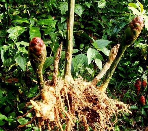 Cây và củ Gừng Gió - Zingiber zerumbet - Nguyên liệu làm thuốc Chữa Bệnh Tiêu Hóa