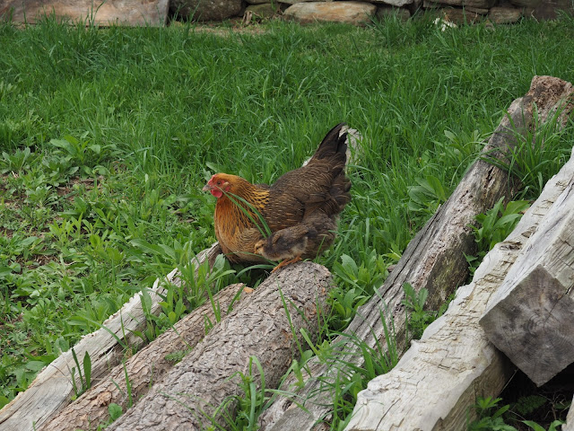 old sturbridge village chicken