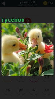 сидят два желтых гусенка в траве