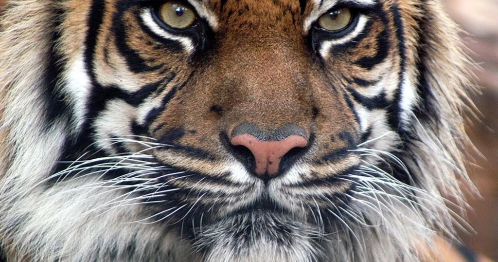 Kambing dan Harimau ~ Ilmu Dasar Kehidupan