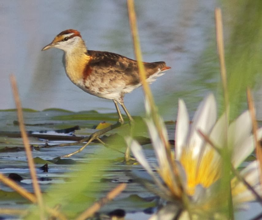 Jacana chica: Microparra capensis