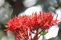 morfologi bunga jarum