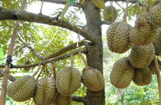 Teknik Bercocok Tanam Agar Durian Montong Berbuah Lebat