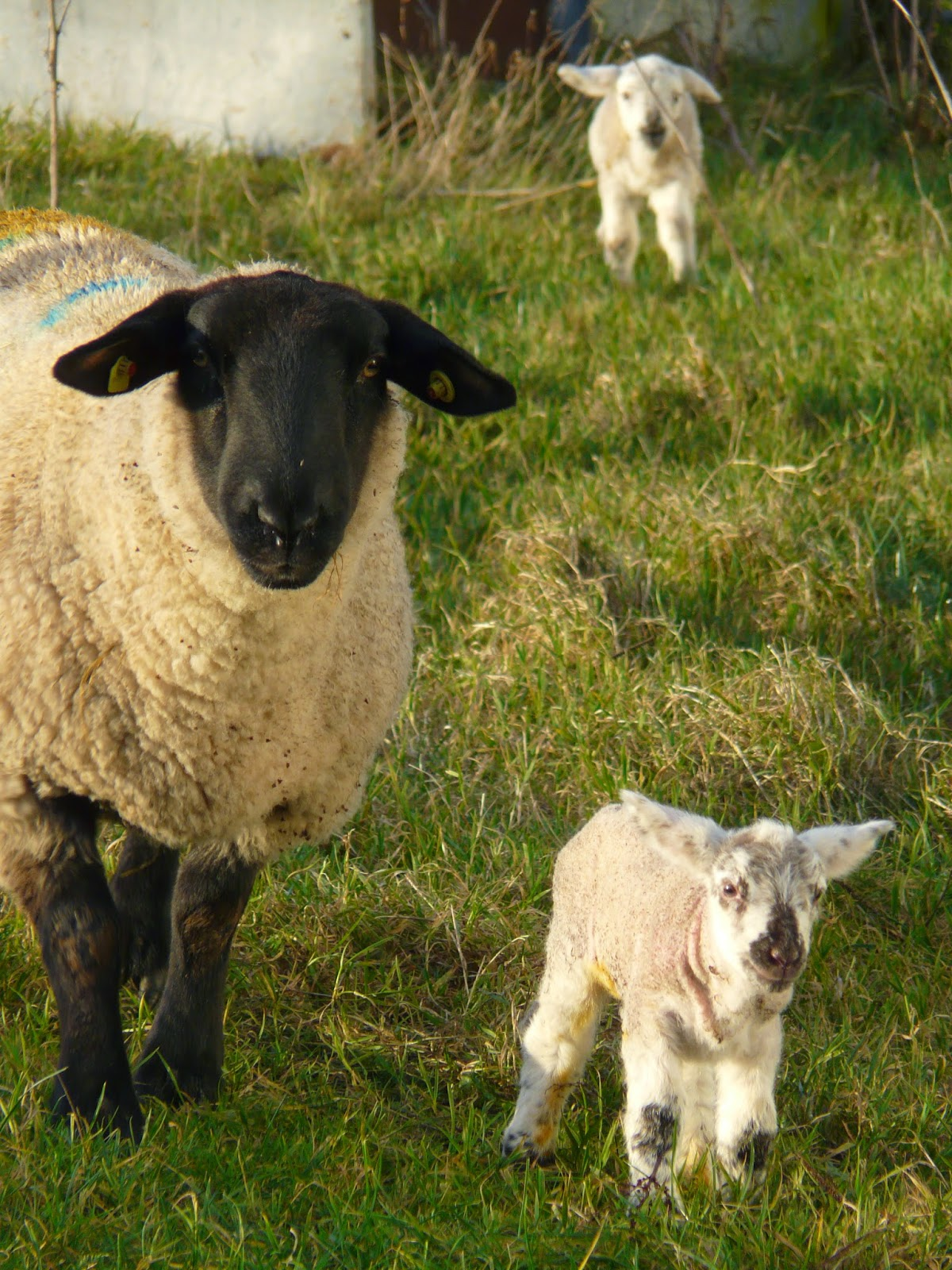 The Main Health Problems Suffered By Lambs