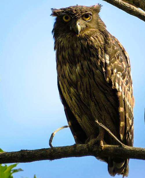Indian birds - Image of Brown fish owl- Ketupa zeylonensis