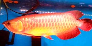 Budidaya arwana super red dan info harganya