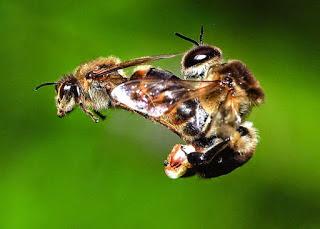 Βασίλισσα Μέλισσα