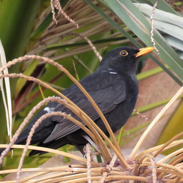Blackbird on a palm tree, Piazza del Pamiglione, Livorno
