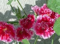 Hatmi Çiçeği En Çok Neye İyi Gelir?  Hatmi Çiçeği Neye İyi Gelir