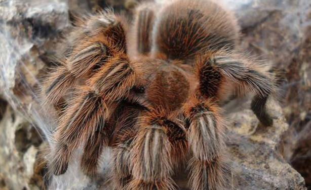 Dünyanın En Tehlikeli  ve Büyük 10 Zehirli Örümceği - Herkül Babun Tarantulası