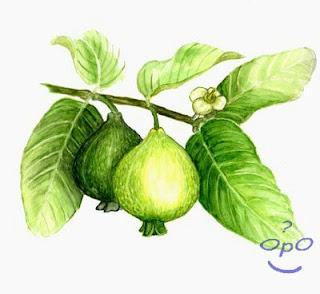 Opo - Manfaat daun jambu biji untuk kesehatan