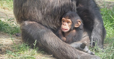 Chimpanzee Mom Protecting Baby