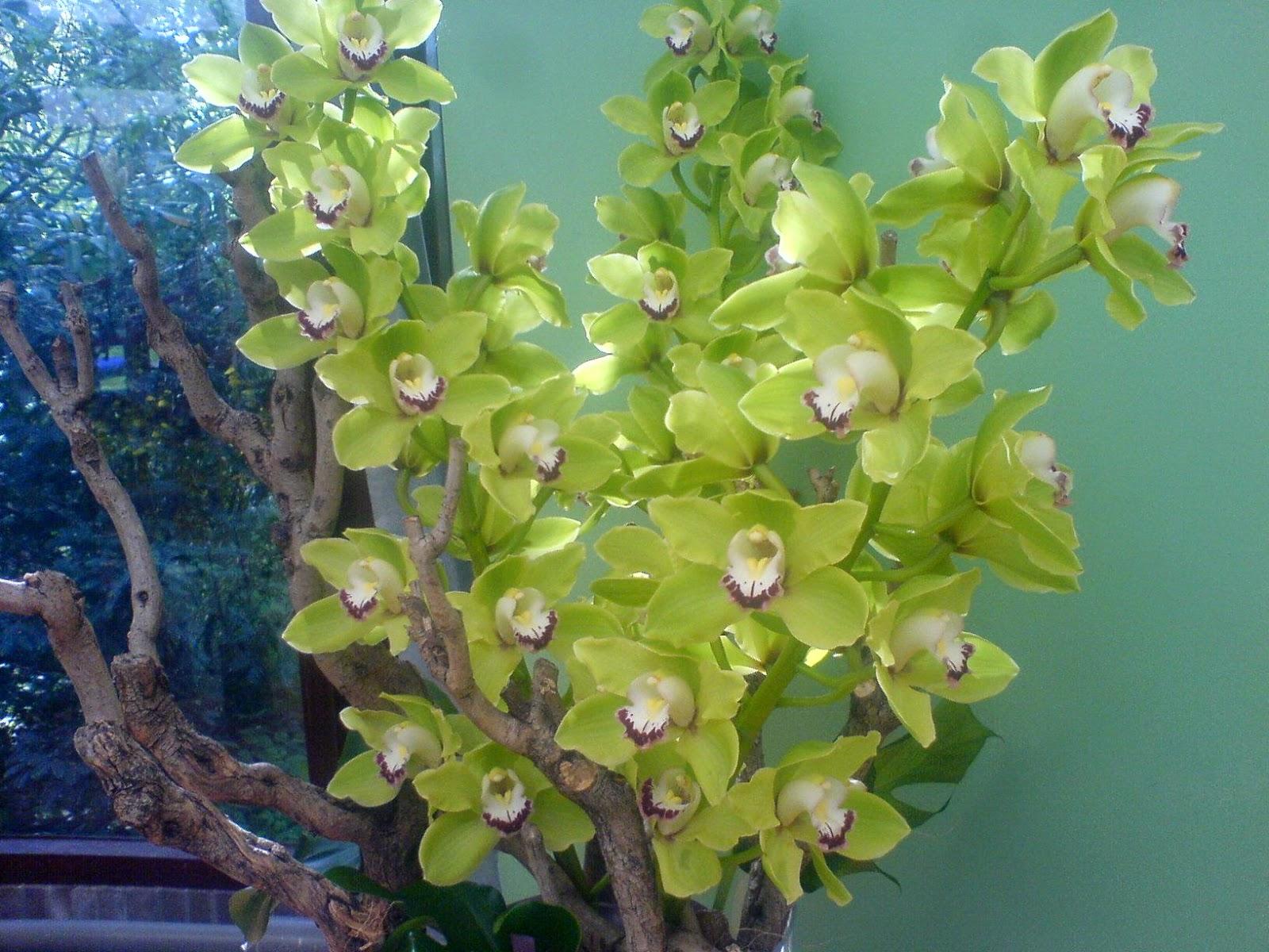 Grønn cymbidium i vase
