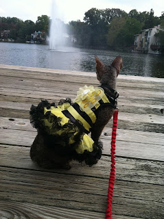 Kely with One L, Cornish Rex in Bumble Bee costume