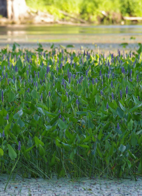 Pickerelweed Urban Nature Marsh Aquatic Plant
