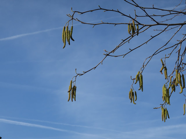Long yellow catkins on a tree with no leaves against a blue sky with aeroplane contrails.