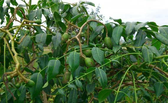 buah kedondong segar