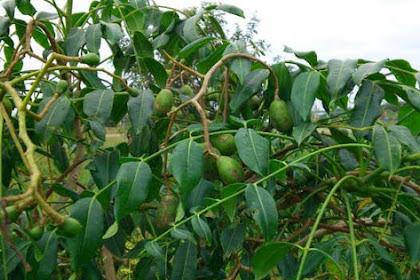 Manfaat tersembunyi buah kedondong untuk kesehatan