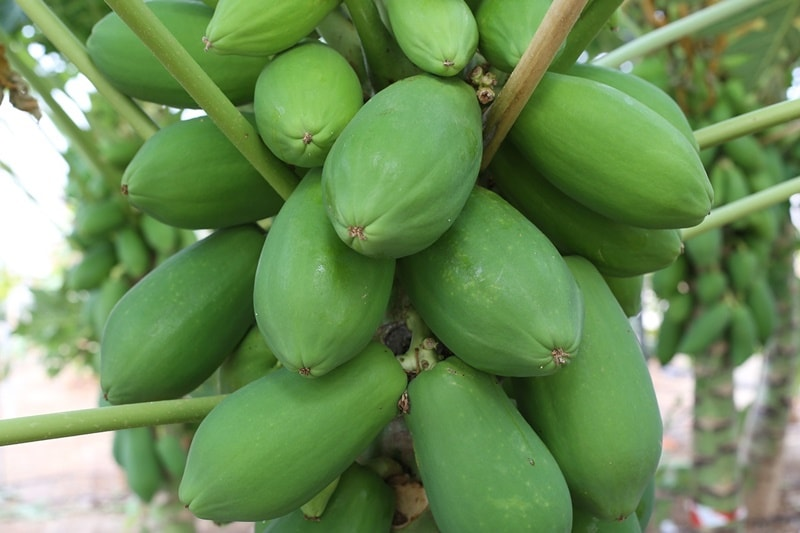 ปลูกมะละกอ อาชีพเสริมเกษตร