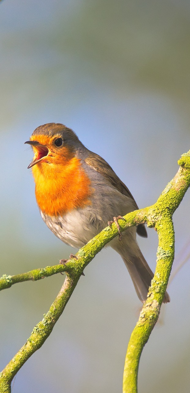 Robin song.
