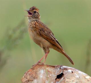 Burung Branjangan - Yang Menjadi Primadona Materan Burung Makotnya