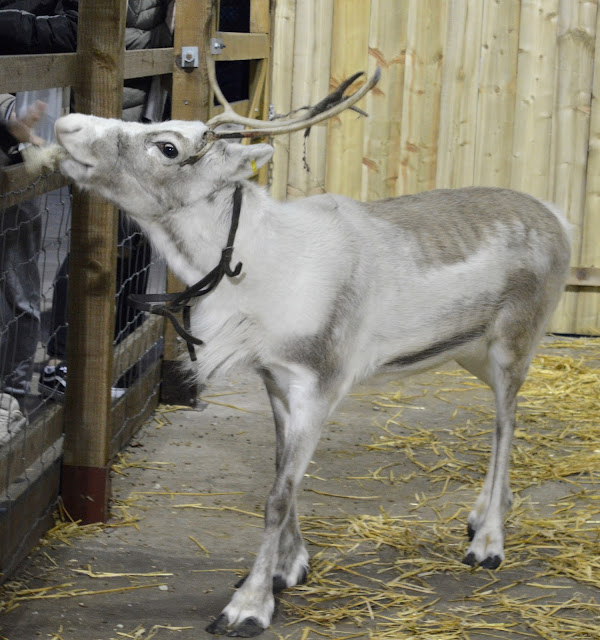 Where to Visit & Feed Reindeer across North East England this Christmas