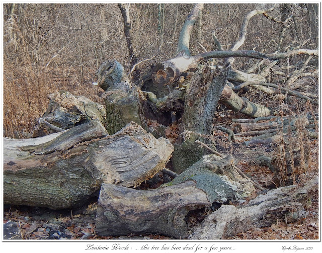 Lusitania Woods: ... this tree has been dead for a few years...