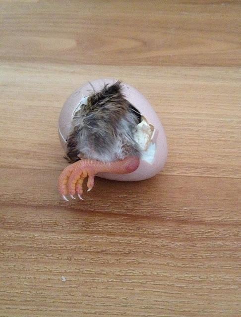 guinea keet hatching
