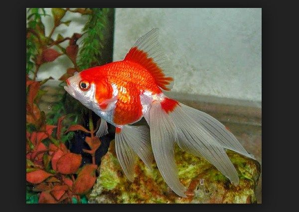 Jenis Ikan Hias dan Harganya