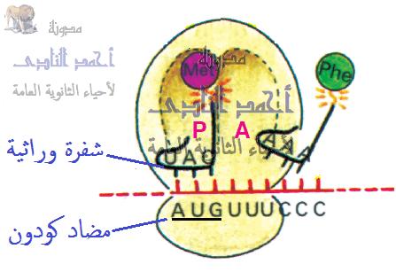 تخليق البروتين – أحياء الثالث الثانوى -  معقد بناء البروتين – الريبوسومات – T.RNA  -  M.RNA  - كودون البدء - الميثيونين