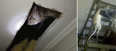 Nothing To Do With Arbroath Rat The Size Of Cat Found In