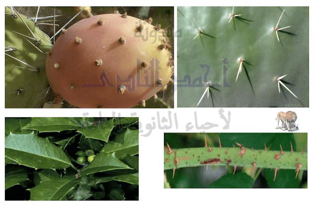 آليات المناعة التركيبية ( خط الدفاع الأول ) - تراكيب موجودة سلفاً فى النبات - الأدمة الخارجية - الأشواك على الأوراق والثمار والسيقان