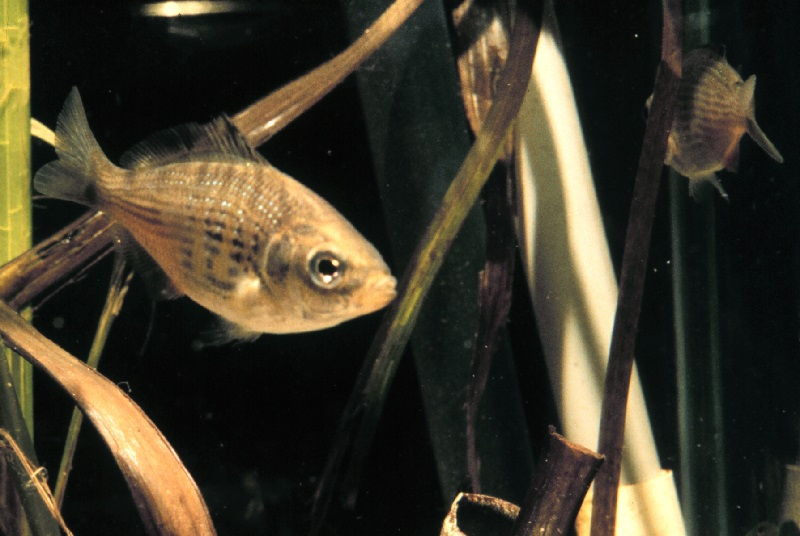 Gambar  Ikan perak ( Cymatogaster aggregatus ) bernafas dengan insang dan termasuk jenis ikan bertulang sejati