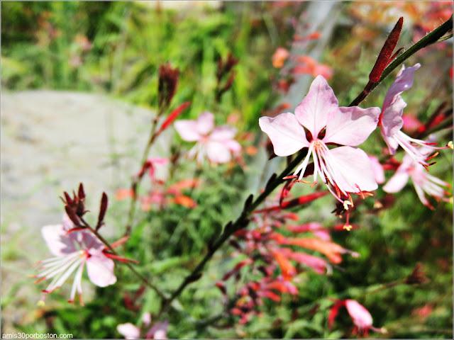 Flores del Jardín Alpino en el Jardín Botánico de Montreal