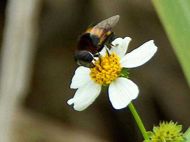 insect, flower, fly or bee