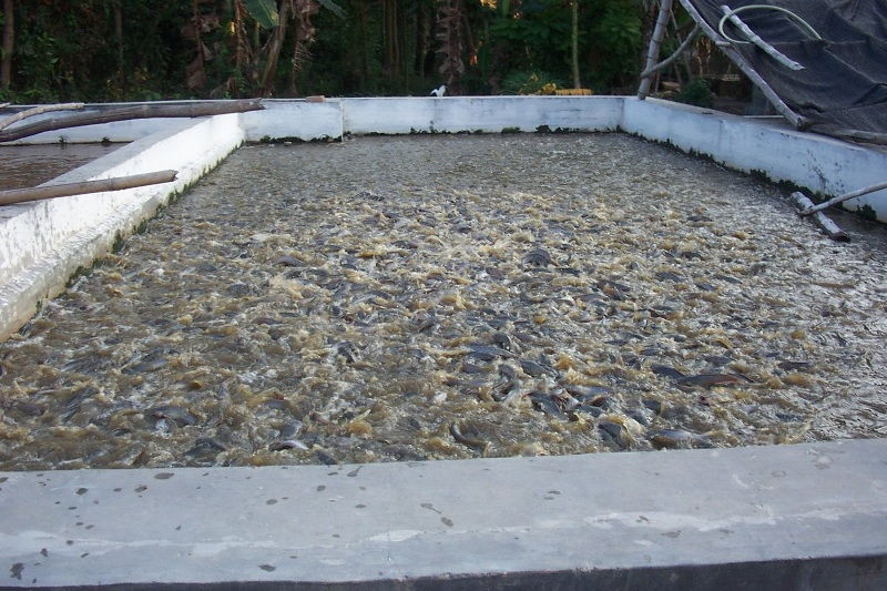 cara budidaya ikan lele sangkuriang di kolam tembok